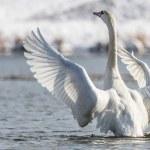 Swan — Stock Photo #25492107