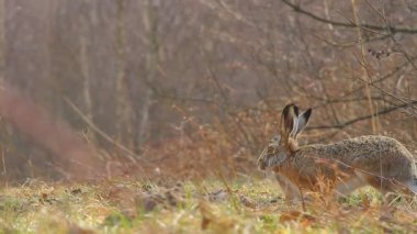 Two hares — Stock Video