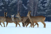 Roe deer in the forest — Stock Photo