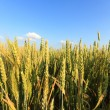 Agricultural field — Stock Photo