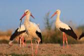 Storks on field — Stock Photo