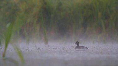 Ducks on water — Stock Video