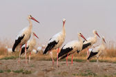 Storks  in a field — Stock Photo