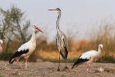 Cigüeñas en un campo — Foto de Stock