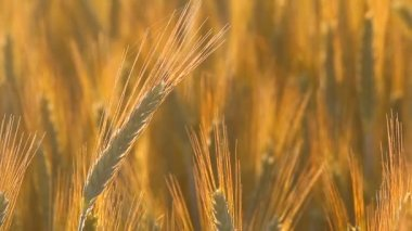 Wheat field — Stok video