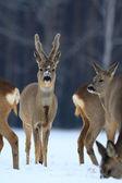 Roe deer — Fotografia Stock