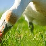Swan — Stock Photo #31910451