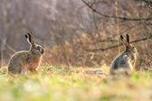 可爱的灰色野兔 — 图库照片