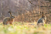 Cute grey hares — Photo