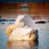 Swan on blue lake water — Stock Photo