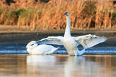 Swans on blue lake water — Stock Photo