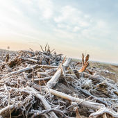 Wild plants in winter — Stock Photo