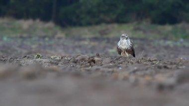 Hawk in field — Stock Video