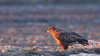 Hawks in field — Stock Video