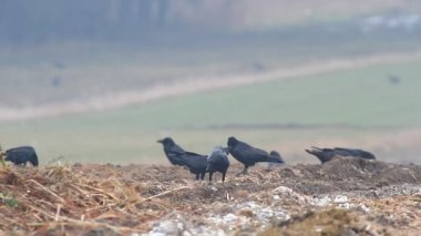 Crows in field — ストックビデオ