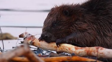 Beavers Working — Stock Video