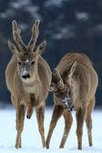Corzos en el bosque — Foto de Stock