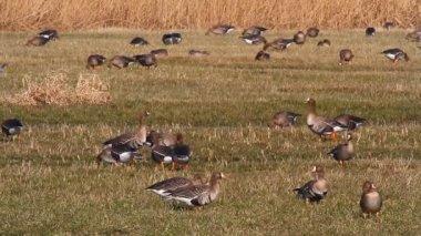 Ducks in the field — Stock Video