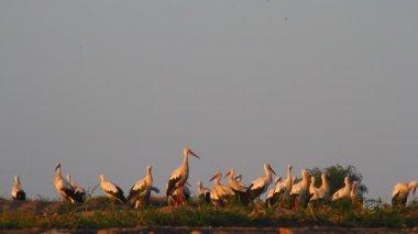 Storks in field — Stock video