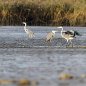 Herons in nature — Foto Stock