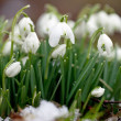 Snowdrops — Stock Photo #23185604