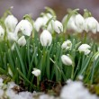 Snowdrops — Stock Photo #23185608