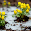 Aconite — Stock Photo