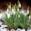 Snowdrops — Stock Photo #23185686