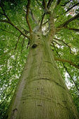 Beech tree in the forest — Stock Photo