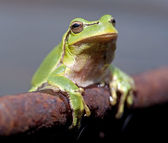 European tree frog (Hyla arborea) — Stock Photo