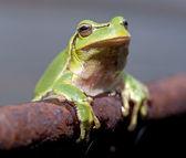 European tree frog (Hyla arborea) — Stock Photo