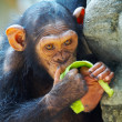 View of young funny chimpanzee thinking about something while eating some fruit - Stock Photo