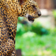 Stock Photo: View of nice leopard cat