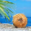 Close up view of big coconut sprout on the beach — Stock Photo