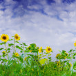 View of nice fresh sunflowers on blue sky back — Foto de Stock