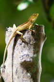 View of nice colorful lizard in summer environment — Stock Photo
