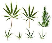 Cannabis leaves — Stock Photo