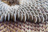 Closeup of sunflower seeds — Stock Photo