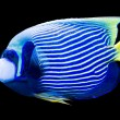 Pomacanthus imperator - emperor angelfish — Stock Photo