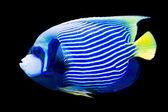 Pomacanthus imperator - emperor angelfish — Stock Photo