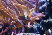 Amphiprion Sp - Clownfish — Stock Photo