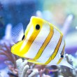 Chelmon rostratus (Copperband Butterflyfish) — Stock Photo