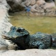 Постер, плакат: West African Dwarf Crocodile