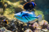 Picasso triggerfish - Rhinecanthus aculeatus — Stock Photo