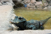 West African Dwarf Crocodile — Stock Photo