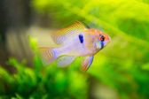 Mikrogeophagus ramirezi, ram cichlid,male — Stock Photo