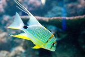 Snapper - Symphorichthys spilurus — Foto de Stock