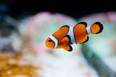Amphiprion ocellaris -clownfish - Nemo — Stockfoto
