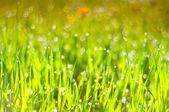 Gouttes de rosée sur l'herbe — Photo