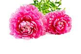 Ranunculus asiaticus pink — Stock Photo